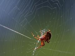Pókselyem-fonal génmódosított selyemhernyókból
