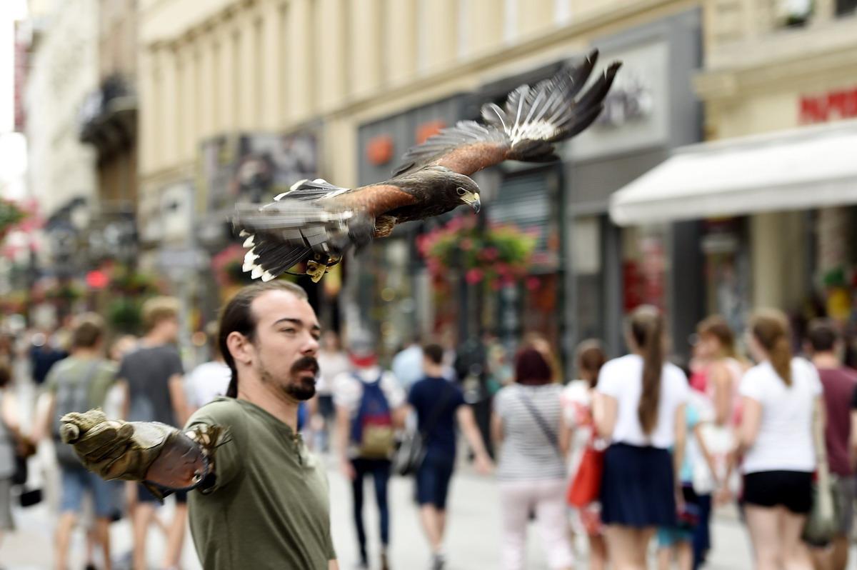 Ragadozó madár a Váci utcában