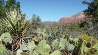 A kaktuszok - egész testfelépítésük a vízraktározásra szolgál