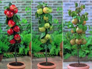 Törpe gyümölcsfák