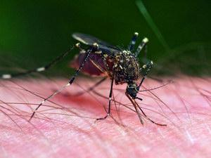 Szúnyogok, a kellemetlen társbérlők