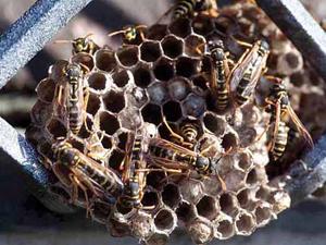 Védekezés darázs és méh ellen