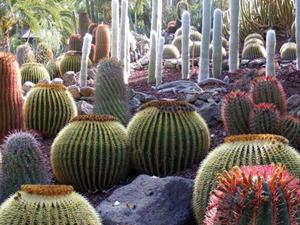Kanári-szigeteki kaktuszkert