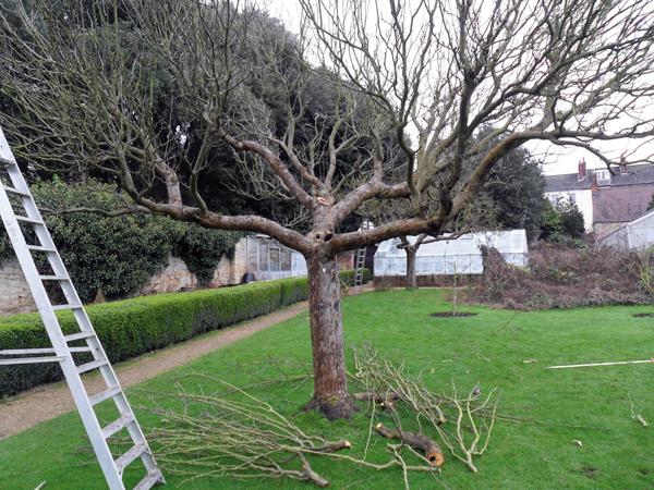 Elhanyagolt fák felújítása