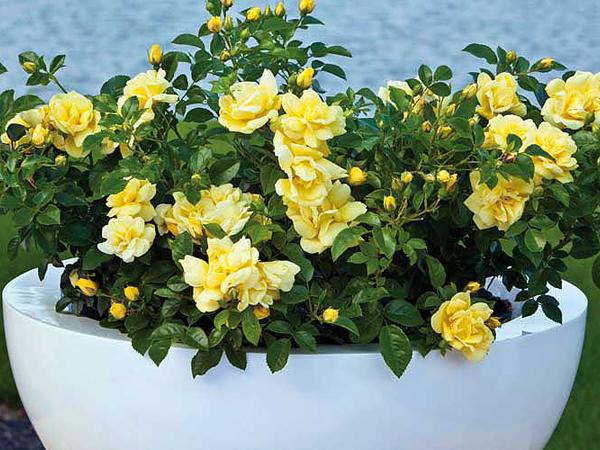 Rózsák szaporítása egyszerűen