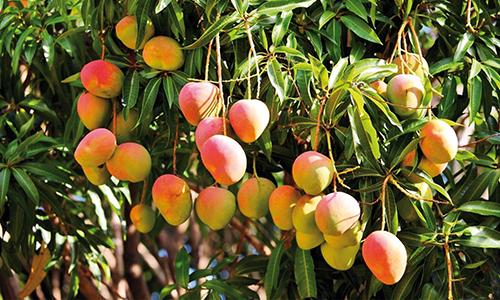"""Képtalálat a következőre: """"mangó növény"""""""