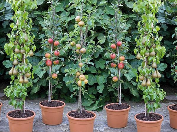 Törpefák, balkon gyümölcsök
