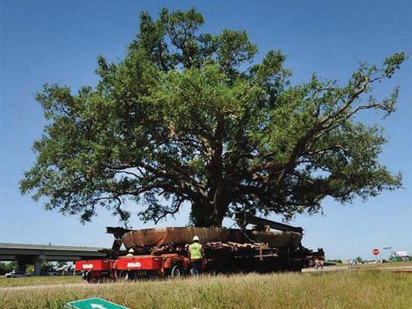 Még egy 150 éves fa is átköltöztethető!