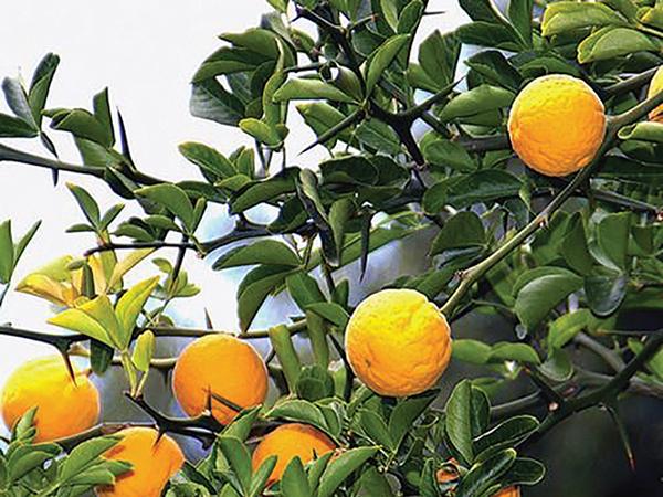 Kerti citrom