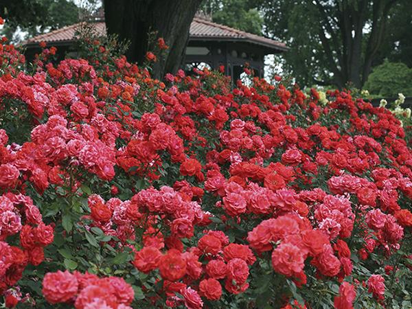 Rózsák sokféleképpen