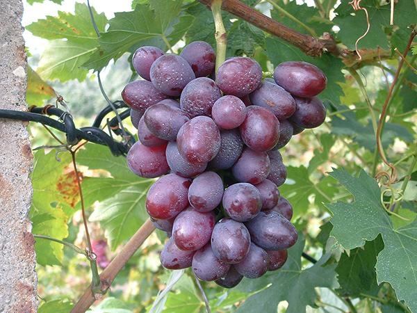 Csemegeszőlő termesztése egyszerűen