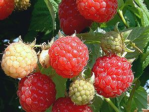 Bogyós gyümölcsök a kertben