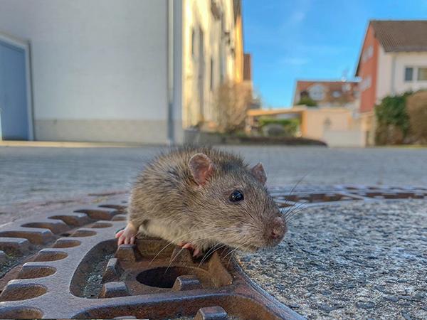 Patkányirtás házilag