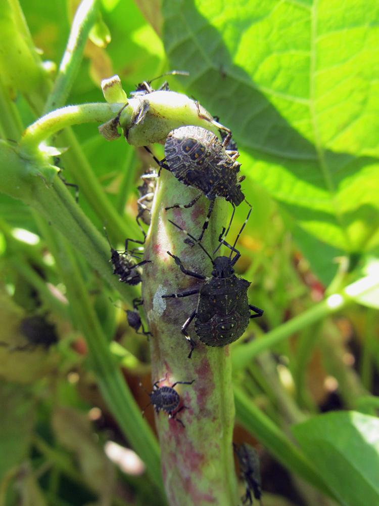 küzdelem a poloska parazitái ellen