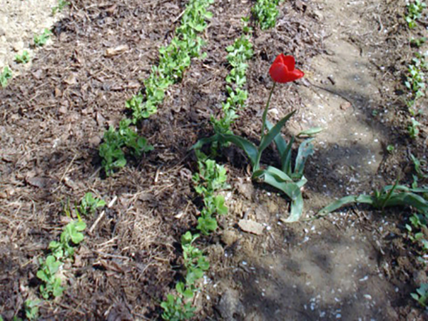 Tavaszi kertébresztő