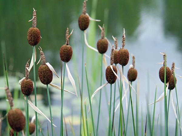 Mocsári- és vizes élőhelyek növényei a kertben