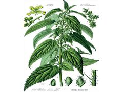Csalán: a méltatlanul mellőzött növény